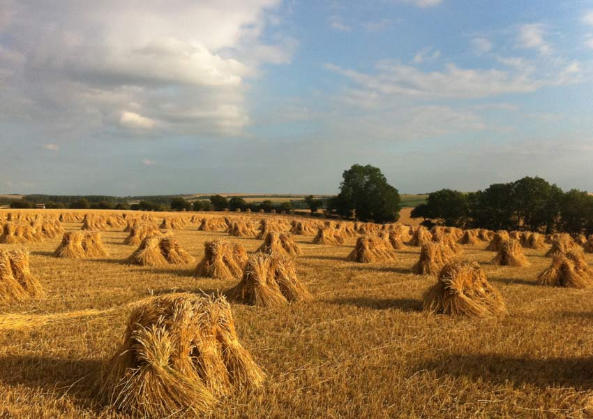 Thatching straw varieties